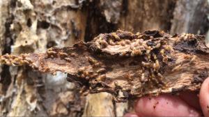 termites_woombye