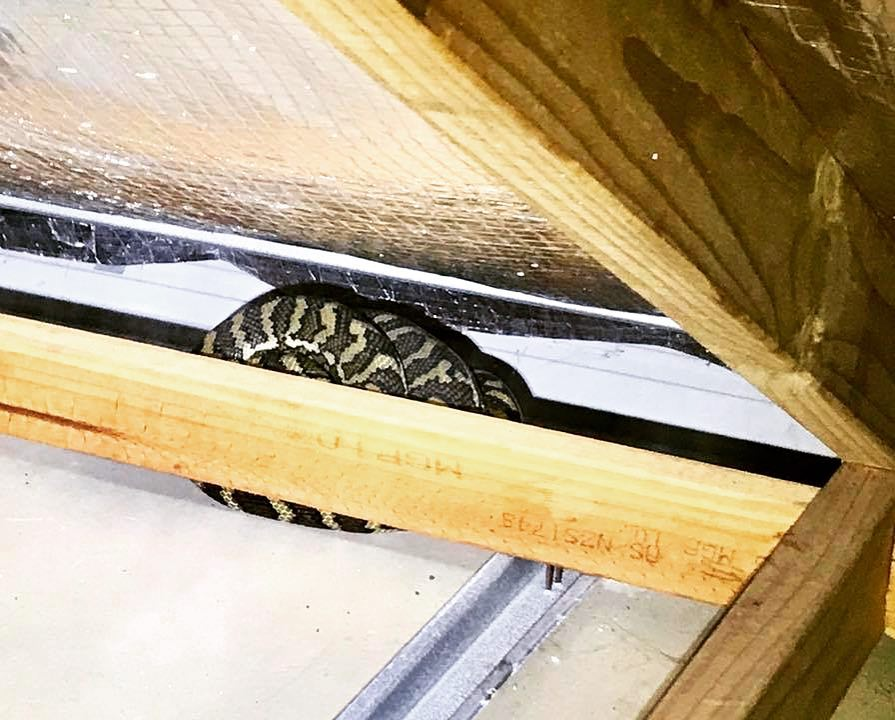 snake in roof void during building inspection