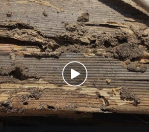 Termites Love Loose Timber