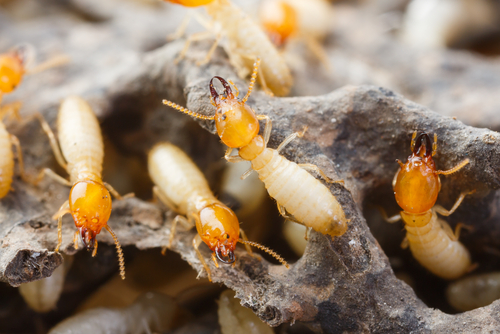 termites - pest inspections