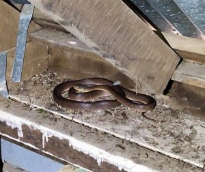 Another Snake in the Roof Void!