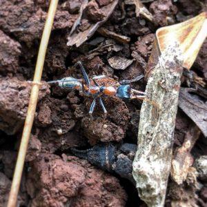 Bull Ants in the Garden & How to avoid Them |  BPI Building & Pest Inspections